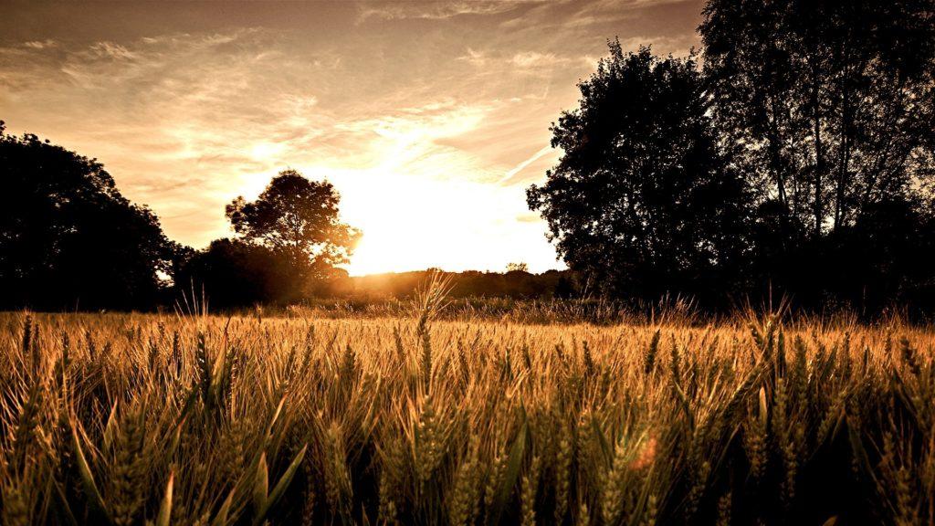 campo-di-grano-al-tramonto